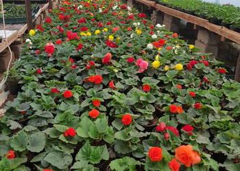 Kwiaty Balkonowe Sprzedajemy Pl