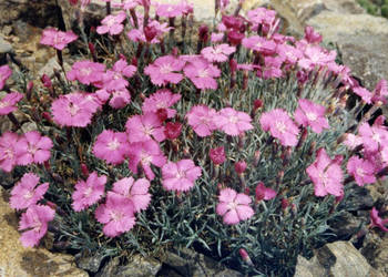 "Goździk siny; Dianthus gratianopolitanus ""Eydangeri"""