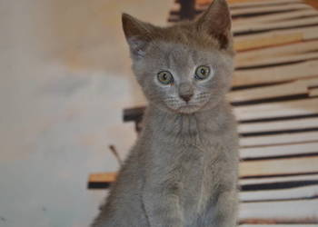 Koty Brytyjskie Sprzedajemypl