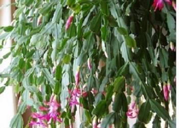 Schlumbergera zygokaktus grudnik Szlumbergera kaktus Bożego