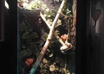 Legwan Zielony z terrarium