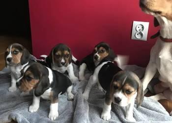 Beagle tricolor szczeniaki