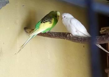Papużki Faliste (ostatnie pary)