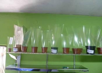 opakowania do kwiatow, Rożki, producent, chryzantemy