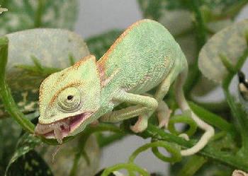 Kameleony jemeńskie - kameleon jemeński - Wejherowo