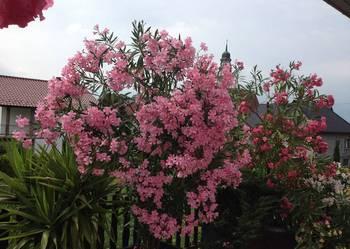 Kwiaty oleander