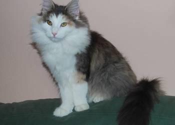 Inteligentny Koty Norweskie, kot rasy Norweskiej na sprzedaż - Sprzedajemy.pl DJ36