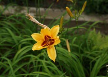 liliowiec ogrodowy,Hemerocallis hybrida, oczka wodne, rabaty