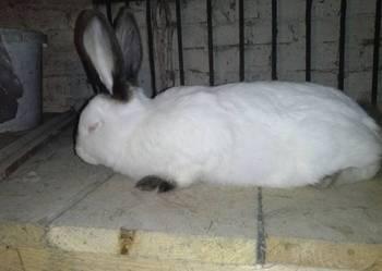 Królik króliki KC sprzedam lub zamienie