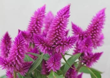 Celozja kłosowa purpurowa - nasiona 30 szt.