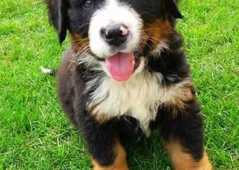 Berneński Pies Pasterski - szczeniaki