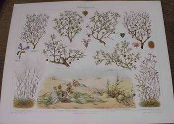 KWIATY - duży format  oryginalne XIX w. grafiki