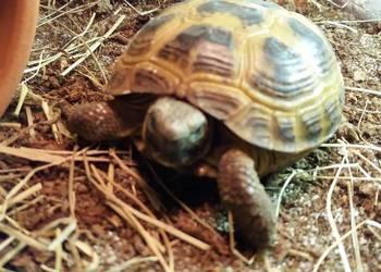 Żółw stepowy z terrarium