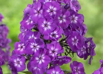 floks fioletowo- biały, wabi motyle i pszczoły