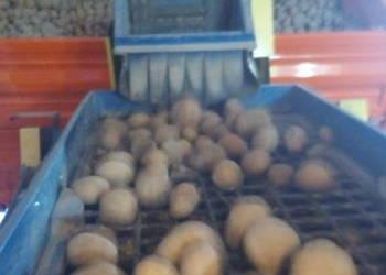 Ziemniaki do sadzenia jadalne Lord, Miłek, Bohun, Cyprian,
