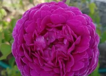 Róża stulistna,Rosa centifolia jadalna, historyczna.