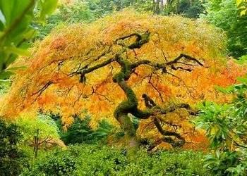 KLON JAPOŃSKI na bonsai do ogródka sadzonka