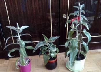 Żyworódka kwiat doniczkowy dekoracyjny i zdrowotny