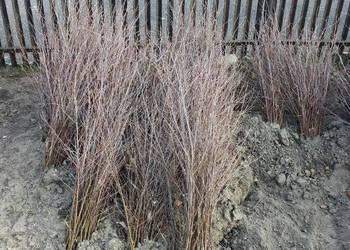 Sadzonki brzozy z gruntu 0,5 m - 3,0 m, brzoza