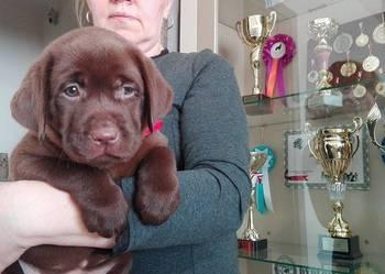 Labradory szczenięta po CH.PL.rodowód Związku Kynologicznego