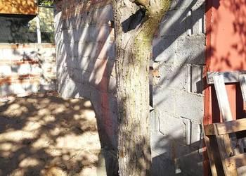Drzewo orzech pień gałęzie dąb buk brzoza olcha sosna świerk