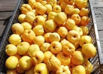 Owoc pigwowca japońskiego