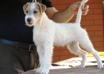 Parson Russell Terrier - piesek