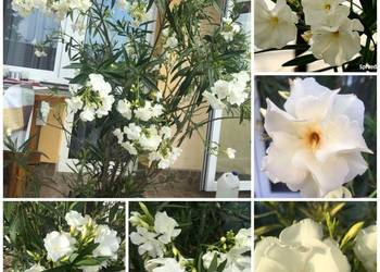 Oleander biały pachnący pełny na imieniny