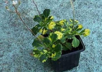 Skalnica Cienista - kolorowe liście