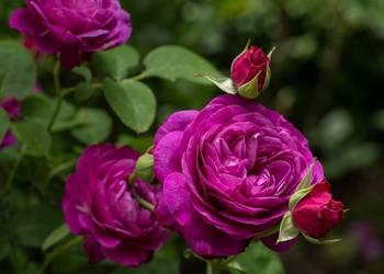 Krzewy róż , sadzonki róż , róże , róże pienne , pojemniki
