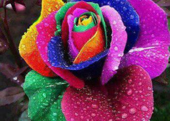 Nasiona róży tęczowej 20 szt