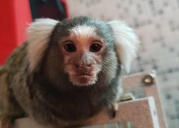 Małpki Marmozeta + klatka