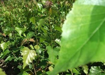 Brzoza brodawkowata, sadzonki brzozy.