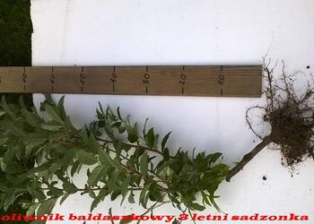 Oliwnik baldaszkowy bomba witamin nalewki