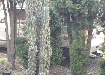 sprzedam kaktusa