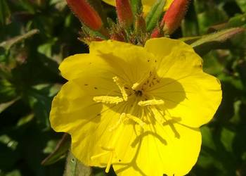 Wiesiołek krzewiasty, bylina XXL, żólte kwiaty, zadarnia