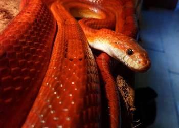 Wąż Zbożowy  Samca Amel Zamienię lub sprzedam
