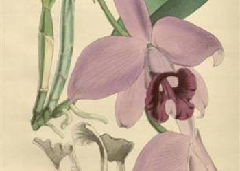ORCHIDEE - STORCZYKI reprodukcje XIX w.  grafik  do wystroju