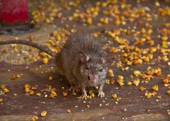 Deratyzacja - zwalczanie mysz i szczurów