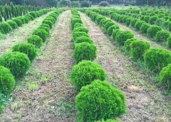 Rośliny ozdobne, iglaki. Tanio