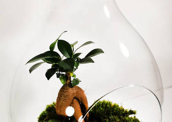 Las w słoiku – Bonsai -idealny ślub, podziękowania, urodziny
