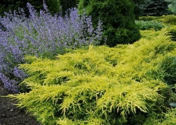 Jałowiec pośredni Gold Star Juniperus pfitzeriana 'Gold Star