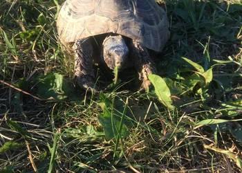 Sprzedam żółwia stepowego