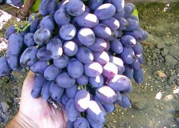 Sadzonki winorośli (Ukraina)
