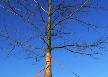 Grab, dąb, buk. Duże drzewo. Graby, dęby, buki. Duże drzewa.