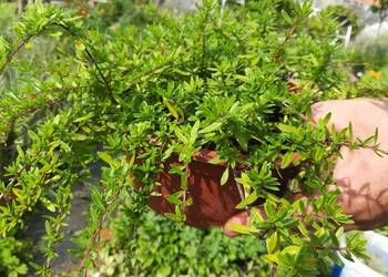 TYMIANEK POSPOLITY, (Thymus vulgaris), EKO,macierzanka