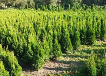 Szkółka drzewek ozdobnych tuja Szmaragd smaragd Brabant Prom
