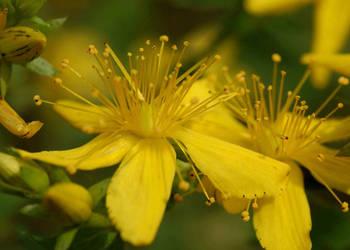 Dziurawiec zwyczajny (Hypericum perforatum), sadzonka