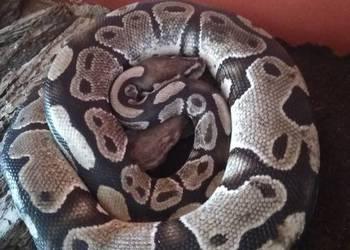 Sprzedam 2 węże