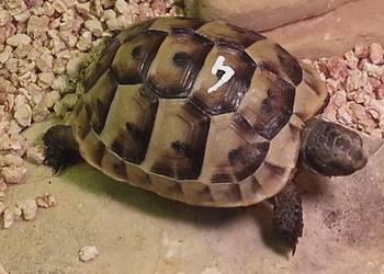 Żółw lądowy śródziemnomorski (mauretański)